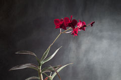 Red orchid. A red orchid flower on gray background Stock Photography
