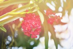 Red orchid Stock Photography