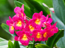Red orchid flower Royalty Free Stock Image