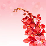 Red orchid flowers Royalty Free Stock Images