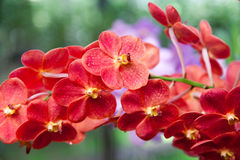 Red orchid. Orchid flowers in the botanical garden, Tailand Royalty Free Stock Photography