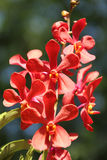 Red Orchid. In the garden Stock Images