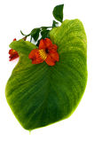 Red orchid with green leaf Royalty Free Stock Photography
