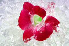 Red orchid with ice Stock Photo