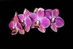 Red orchid Stock Photo