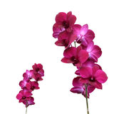 Red orchid. Isolated on white background Royalty Free Stock Photo