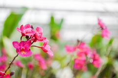 Red orchid in orchid farm Royalty Free Stock Images