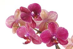 Red  orchid phalenopsis Royalty Free Stock Photo