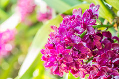 Red orchid, Rhynchostylis gigantea. Royalty Free Stock Images