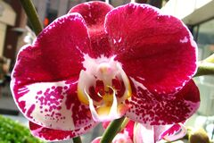 red orchid with white Royalty Free Stock Photography