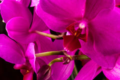 Red orchid Royalty Free Stock Photos