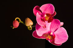 Red orchids Stock Image