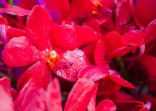 Red orchids background Stock Photography