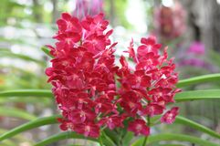 Red Orchids Stock Photography
