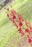 Red orchids   beautiful natural Royalty Free Stock Image