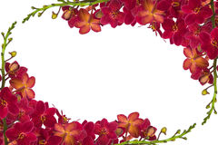 Red Orchids. Red orchid on a white background Royalty Free Stock Images