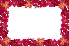 Red Orchids. Red orchid on a white background Stock Images