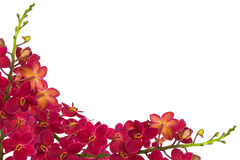 Red Orchids. Red orchid on a white background Royalty Free Stock Photography
