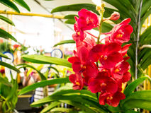 Red orchids in Paragon bangkok orchid paradise 2014. Orchids and gardening equipment will be on sale at special prices and have the opportunity to purchase high Royalty Free Stock Photo