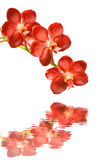 Red orchids on a white background Stock Photos