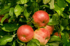 Red organic apples. On tree on a swiss apple farm Stock Photos