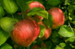 Red organic apples. On tree on a swiss apple farm Royalty Free Stock Photography