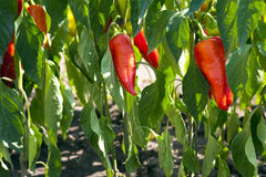 Red organic peppers. Growing in the garden Stock Photos