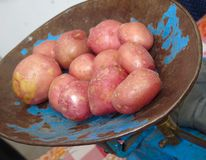 Red Organic Potato Stock Photos