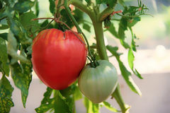 Red organic tomato plant and fruit, giant tomatoes growing Stock Photo