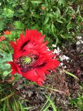 Red oriental poppy. With dark center green Royalty Free Stock Photo