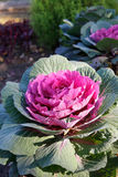 Red ornamental cabbage. On the lawn Stock Photo