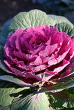 Red ornamental cabbage Royalty Free Stock Photos