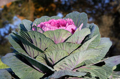 Red ornamental cabbage. On the lawn Royalty Free Stock Photography