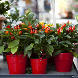 Red ornamental capsicum. Plants in red pot stock images