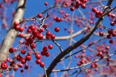 Red ornamental crab apple berries in fall. Red ornamental crab apples against blue sky in fall Royalty Free Stock Images