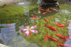 Red ornamental fish swim in an artificial pond with a beautiful pink flower, top view. Group of objects stock photos