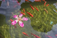 Red ornamental fish swim in an artificial pond with a beautiful pink flower, top view. Group of objects stock images