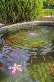 Red ornamental fish swim in an artificial pond with a beautiful pink flower, top view royalty free stock image