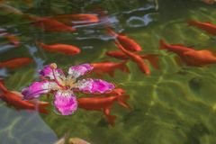 Red ornamental fish swim in an artificial pond with a beautiful pink flower, top view. Group of objects stock photo