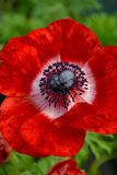 Red ornamental poppy Stock Images