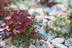 Red orpine plant Stock Image