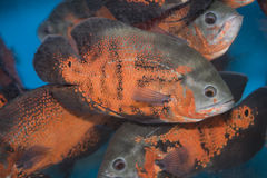 Red oscar fish. In the aquarium. velvet cichlid Royalty Free Stock Image