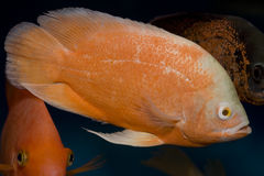 Red oscar fish. In the aquarium. velvet cichlid Royalty Free Stock Photos