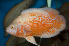 Red oscar fish. In the aquarium. velvet cichlid Stock Photography