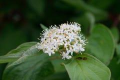 Red Osier Dogwood (Cornus sericea) Flower Detail Stock Images