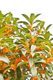 Red osmanthus flowers in full bloom Royalty Free Stock Photo