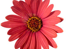Red Osteospermum Daisy or Cape Daisy flower Royalty Free Stock Image