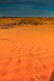 Animal tracks in red sand dune Royalty Free Stock Photos