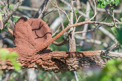 Red Ovenbird nest on a tree branch. Stock Photo