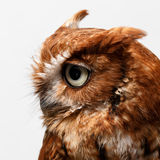 Red owl. Closeup of a red owl bird Royalty Free Stock Images